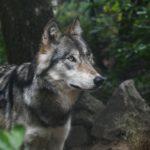 la louve trebulle